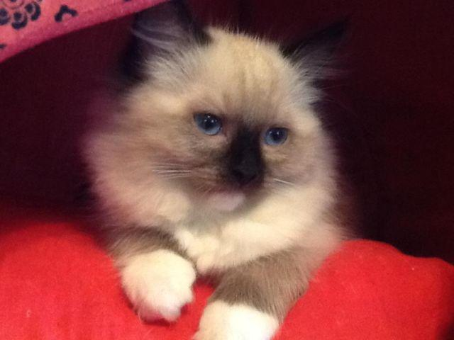New year ragdoll kittens Mom and Dad are both TICA