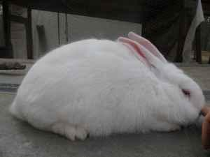 New Zealand White Rabbits - $10
