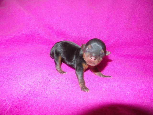 Teacup Yorkie Puppies For Sale In California Classifieds Buy And