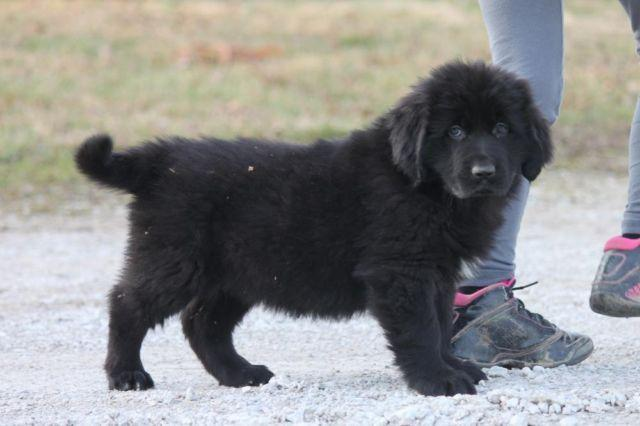Newfoundland Puppies!