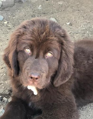 Newfoundland Puppies For Sale In California Classifieds Buy And