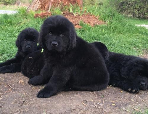 Newfoundland Puppies For Sale In Michigan Classifieds Buy And Sell