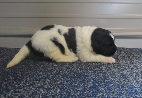 Newfoundland Puppy for Sale - Adoption, Rescue