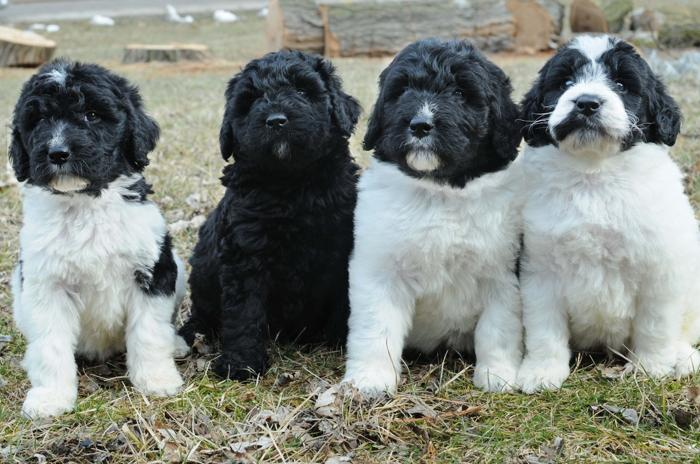 Newfoundland Mixed Puppies For Sale In Michigan Classifieds
