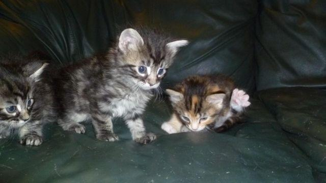 NewLitter LegendLynx Kittens, Black& Silver Marble Tabby ...