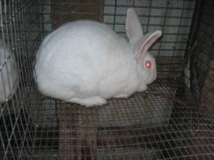 NewZealand White Rabbits FOR SALE (Lancing,TN)
