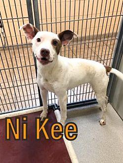 Ni Kee 16319 Pit Bull Terrier Young Female