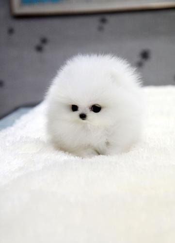 Peekapoo Puppies For Sale In Oklahoma City Oklahoma Classifieds