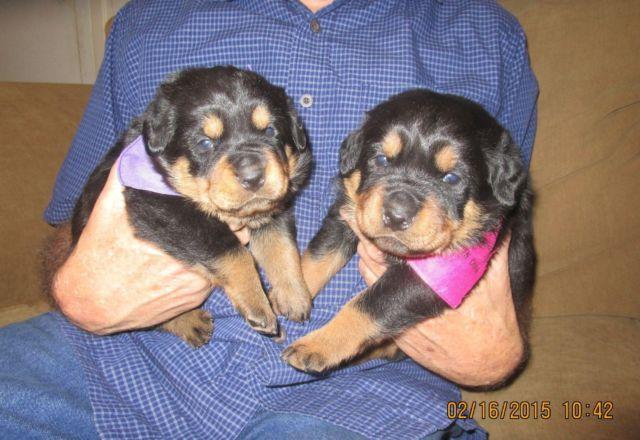 Nice Large Akc Rottweiler Pups Mineola Tx For Sale In Hainesville
