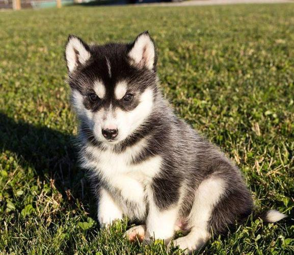 Pets And Animals For Sale In Gilmore Missouri Puppy And Kitten
