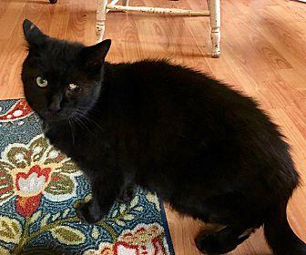 Nick Domestic Shorthair Adult Male