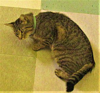 Nick Domestic Shorthair Young Male