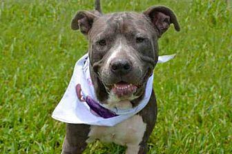 NICKY American Pit Bull Terrier Adult Female