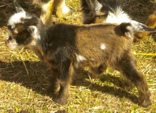 Nigerian Dwarf Dairy Goat Buckling ~ Purebred ~ Born