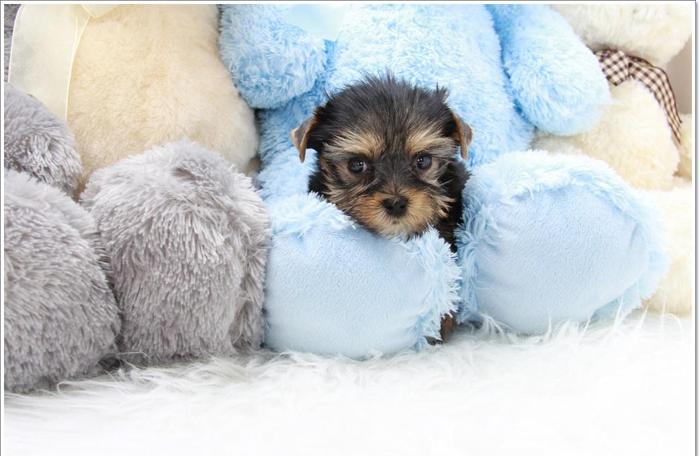 Nikki Teacup Yorkshire Terrier For Sale In Los Angeles California
