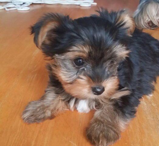 Nine weeks old Yorkie puppy
