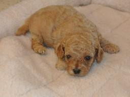 Non Shed Cavapoo Puppies