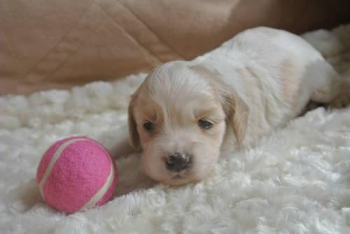 Non Shed Cockapoo Puppies For Sale In Dayton Ohio Classified Americanlisted Com