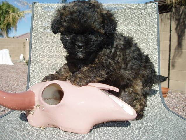 Non Shed Shih Tzupoodle Cross Puppies For Sale In Queen Creek
