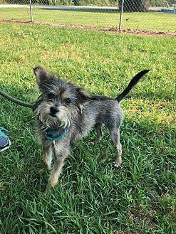 Noodle Yorkie, Yorkshire Terrier Young Female