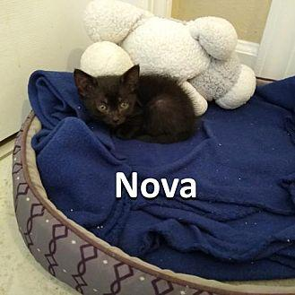 Nova Domestic Shorthair Kitten Female