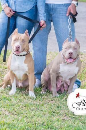Now taking deposits! Pitbull red nose blue fawn puppies