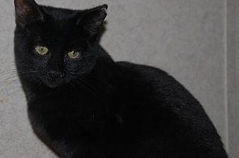 Nyx Domestic Shorthair Young Female