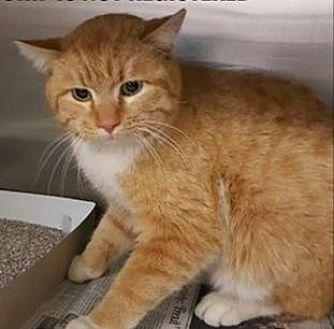 Obie Domestic Shorthair Young Male