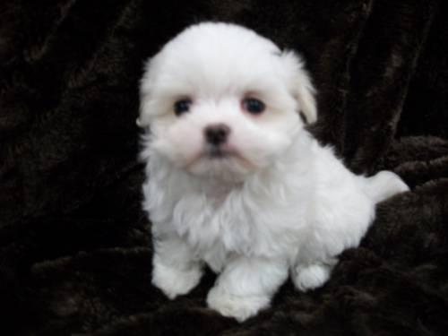 Ocherese Puppies- Cute & Playful