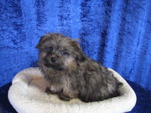 Ocherese Puppies-Pekingese,Maltese, Poodle Mix