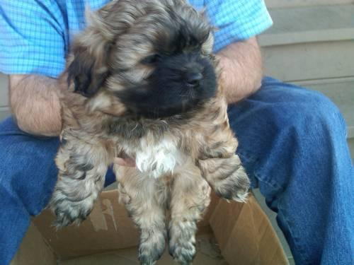 Ocherese Puppies-Pekingese,Maltese, Poodle Mix-Only Two