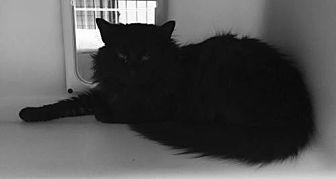 OH-Romeo (MCR) Maine Coon Adult Male for Sale in Colorado