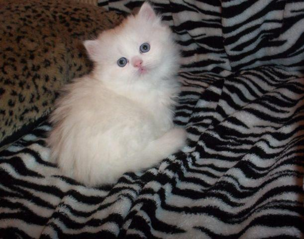 OH SO PRECIOUS SOLID WHITE BLUE EYED PERSIAN/HIMALAYAN