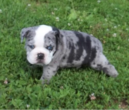 Blue Merle Old English Bulldog Playing