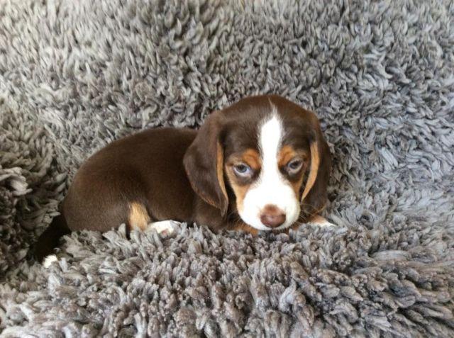 Old English Pocket Beagle Male Sold For Sale In Fremont
