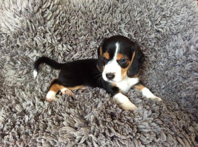Old English Pocket Beagle Puppy Male Sold For Sale In Fremont