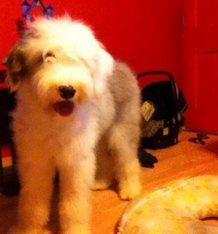Old English Sheepdog AKC