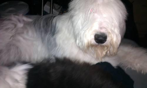 Old English Sheepdog for Sale in San Antonio, Texas