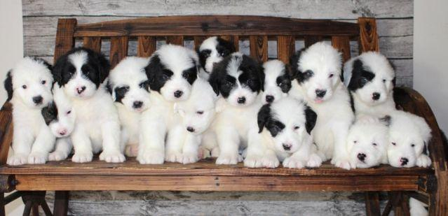 Old English Sheepdog mix puppies