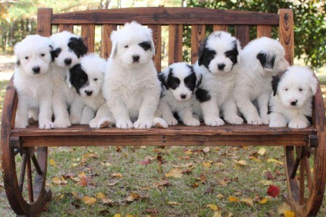 Old English Sheepdog mix puppies for ado