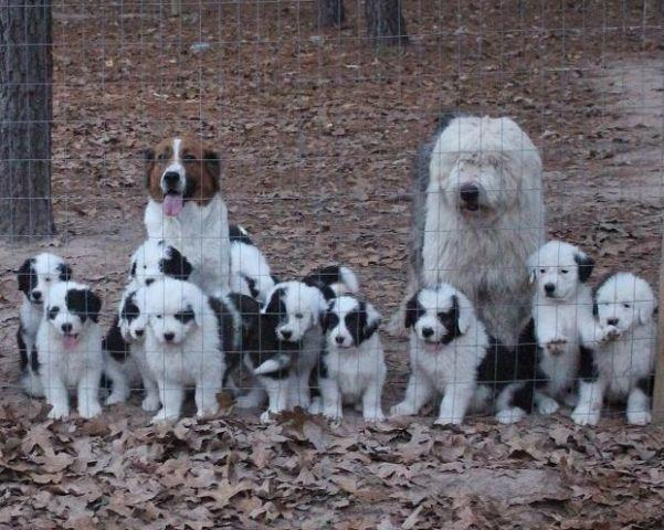Old English Sheepdog mix puppies for adoption