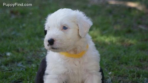 Old English Sheepdog Dog Breed  Facts and Traits  Hills Pet