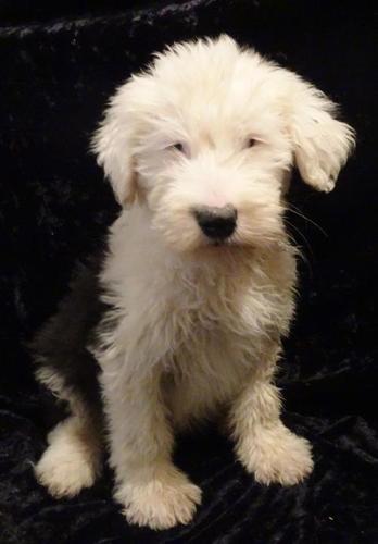 Old English Sheepdog Puppies For Adoption - Goldenacresdogs com