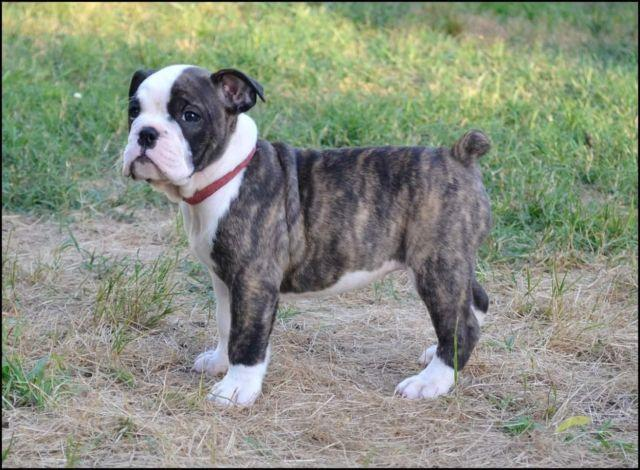 english bulldog rescue va olde english bulldog for sale in suffolk virginia 4560