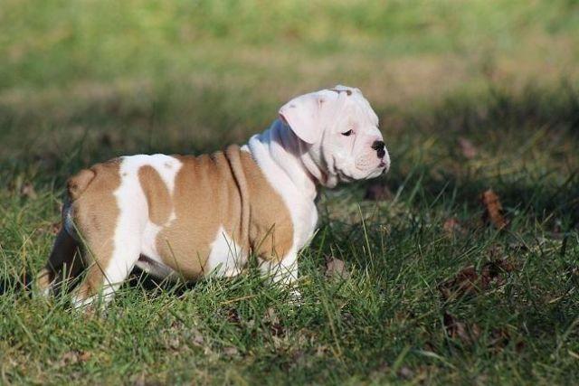 olde english bulldog puppies for sale in mount gilead