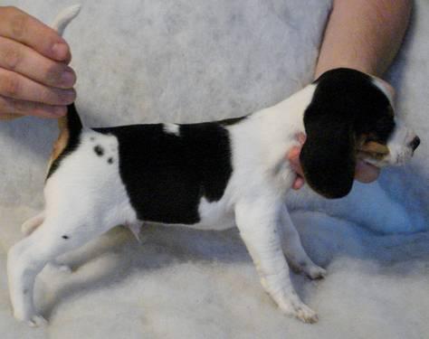 Olde English Pocket Beagle Puppies For Sale In Victoria Virginia