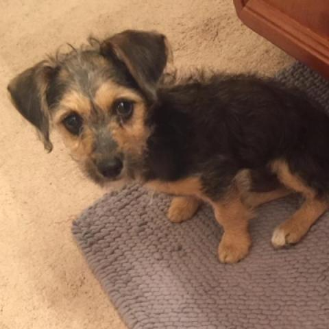 Oliver Yorkshire Terrier Yorkie Baby Adoption Rescue For Sale In
