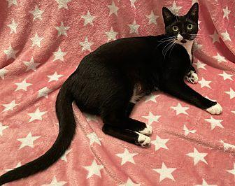 Olivia Domestic Shorthair Adult Female