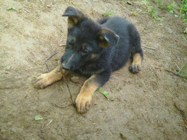 On Sale - AKC German Shepherd Puppies