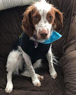 ON/Tikka (bonded to ON/Rosco) Brittany Adult Female